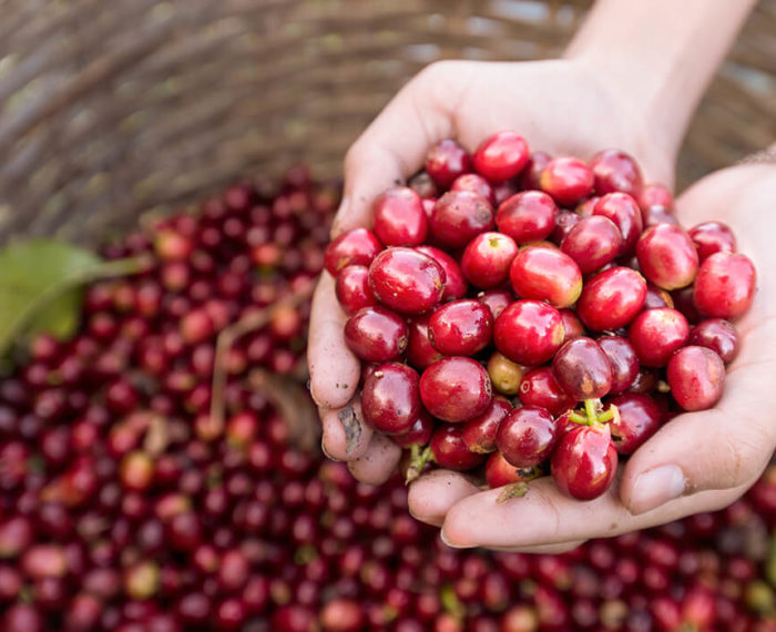 coffee berry antioxidant